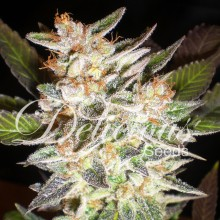 Cheese candy auto(1)