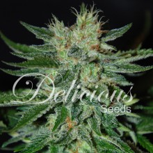 Sugar black rose (3uds,5uds y 10uds) Delicious Seeds