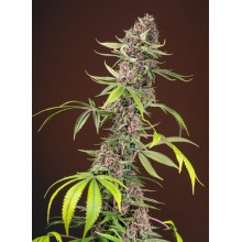 Red Mandarine F1 Fast Version (3uds y 5uds) Sweet Seeds