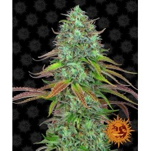 LSD auto (1ud,3uds,5uds y 10uds) Barneys farms